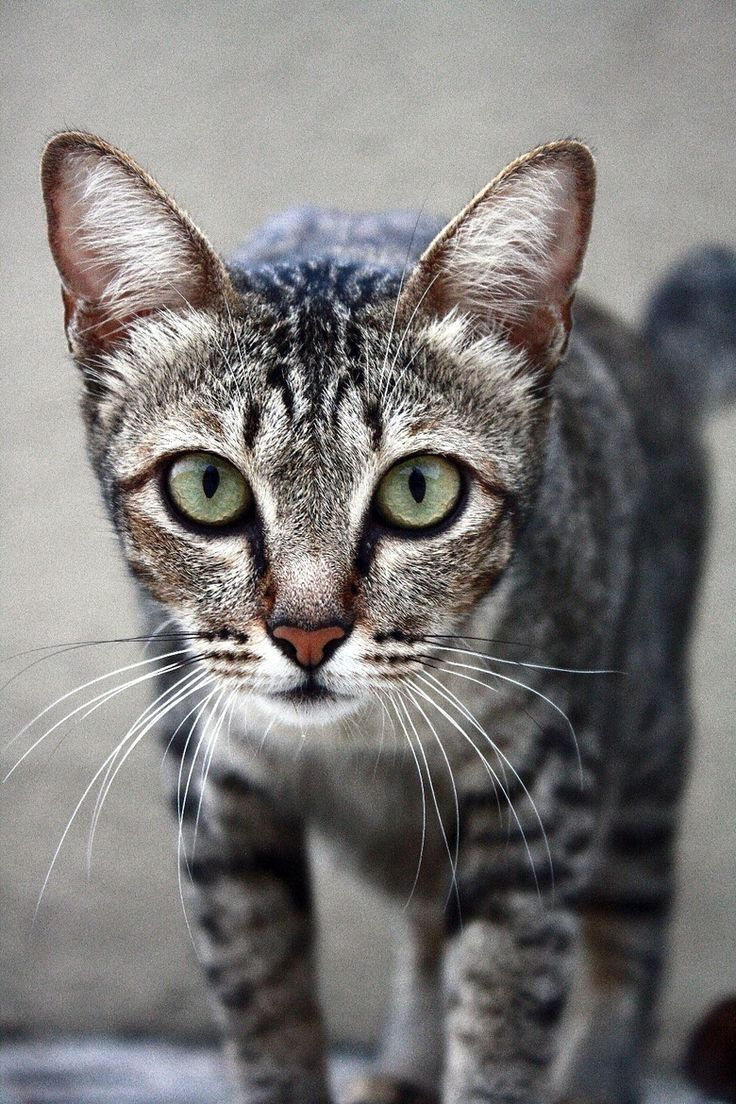 368 best tabby cats kittens images on Pinterest