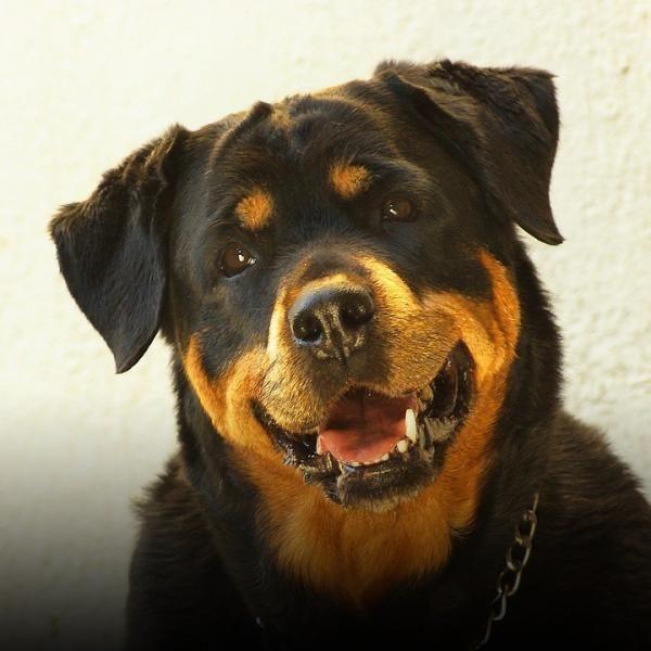 Rottweiler: características, fotos y vídeos - ExpertoAnimal