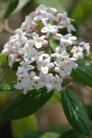 Korean Spice Viburnum in bloom