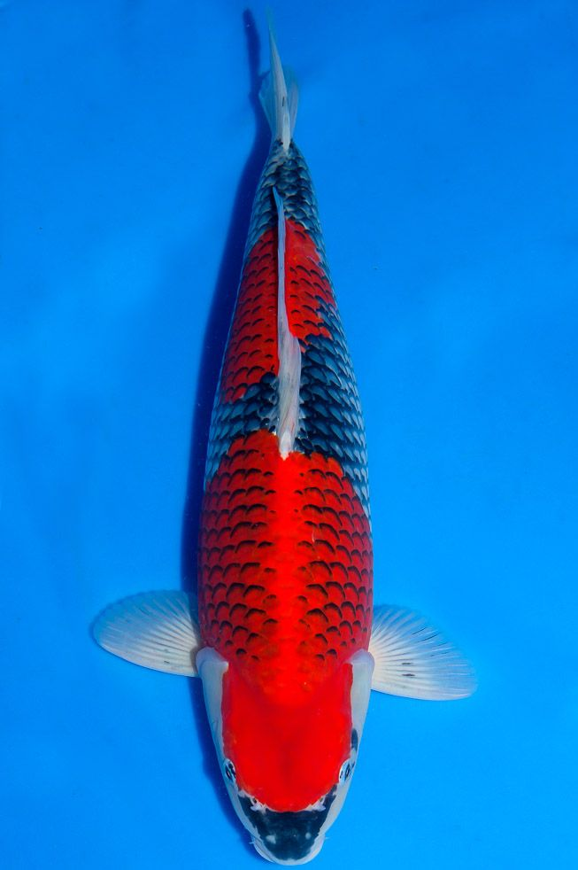 74 best koi images on pinterest koi carp koi ponds and for Carpe koi b