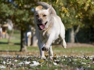 Chien Labrador Retriever #adorable