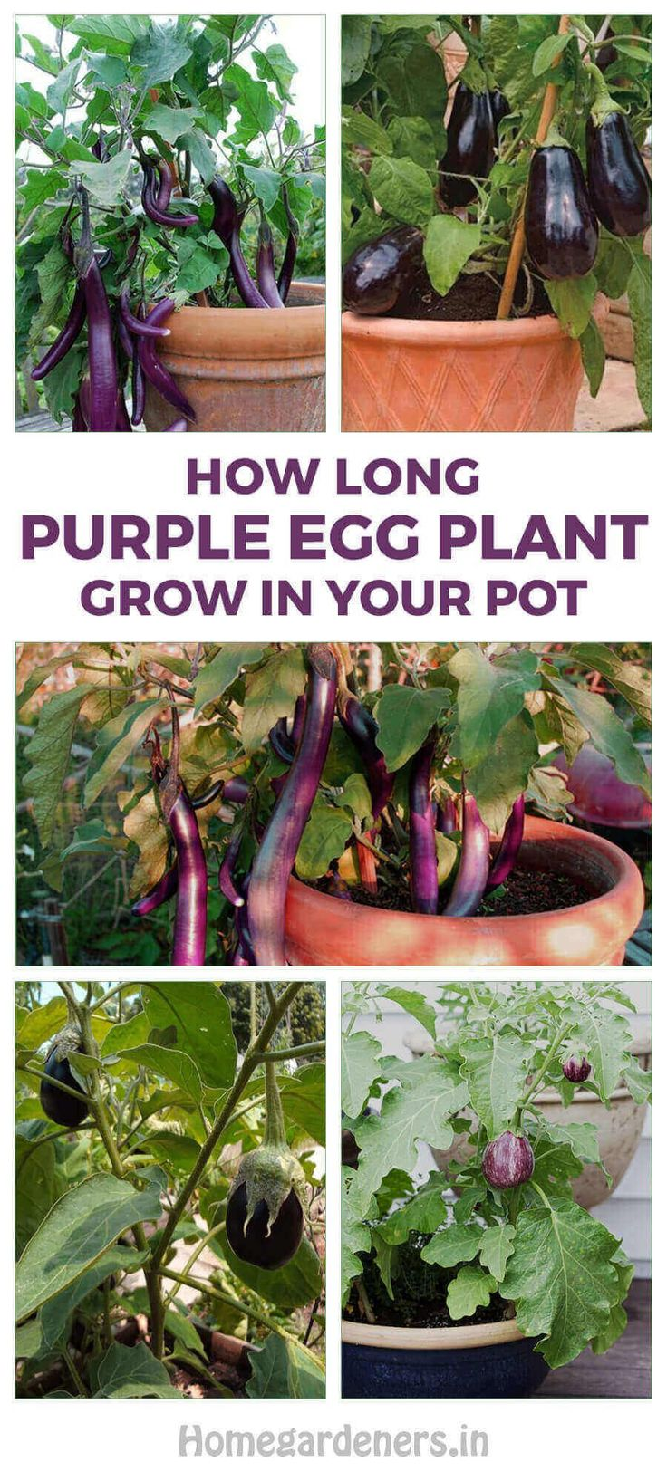 How long does purple eggplant grow in your pot plants
