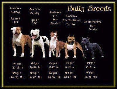 American Bulldog: Johnson Type (classic type) American Bulldog: Scott Type (standard/ performance type) American Pit Bull Terrier American Staffordshire Terrier Staffordshire Bull Terrier Here&#82…