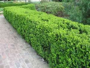 Wintergreen boxwood hedge. Low maintenance evergreen that grows ...