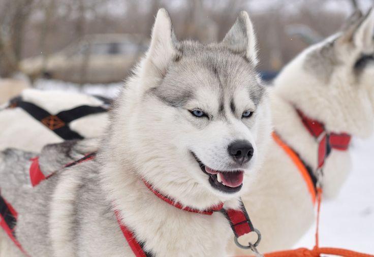 Abenteuer-Wanderung mit #Huskys im #Harz.  Die Power der #Schlittenhunde live erleben. Du bis leidenschaftlicher Spaziergänger oder Wanderer? Dann probiere etwas Neues aus und wandere doch mal mit einem #Schlittenhund.
