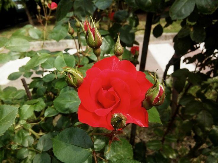 Rosa #fiorirossi #fioricolorati #fioriprofumati #colori #profumi #fioribelli