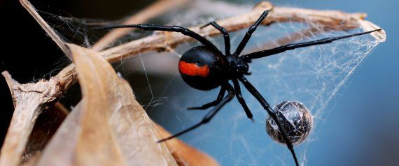 SYDNEY, NSW - JANUARY 23:  A Redback Spider is pictured at the Australian Reptile Park January 23, 2006 in Sydney, Australia. The Redback, probably Australia's best-known deadly spider is found all over Australia and is a close relative of the Black Widow Spider from the U.S. Only the female Redback is considered dangerous, with their venom containing neurotoxins, which works very slowly. Fatalities, even from untreated bites, are rare. Australia is home to some of the most deadly and…