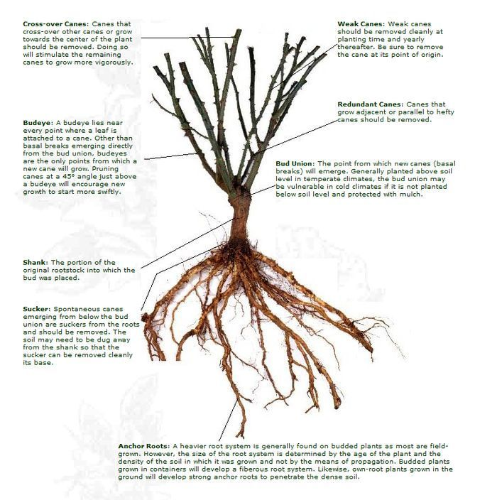 Basic rose anatomy - Bare Root plant.