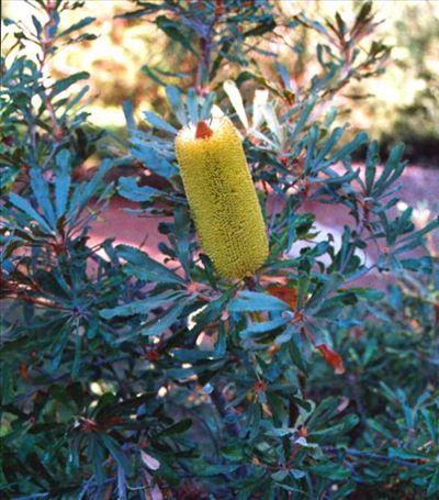 Banksia media • Australian Native Plants Nursery • Plants • 800.701.6517