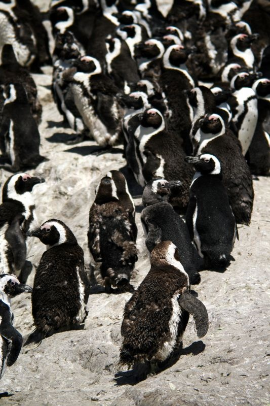 African penguins - Port Elizabeth