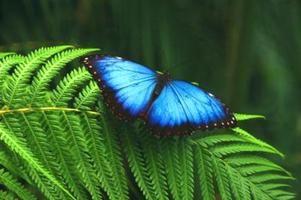 Datos para los niños sobre la mariposa morfo azul