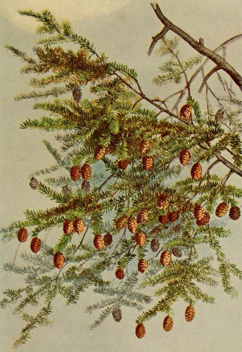 Hemlock (Tsuga Canadensis). Illustration by Ellis Rowan taken from 'A Guide to the Trees' (1900) by Alice Lounsberry.