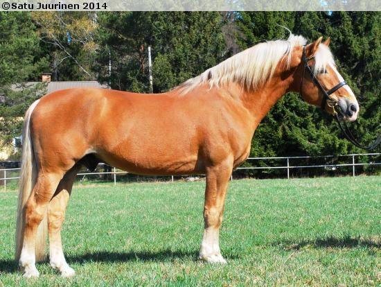 Trotter-type Finnhorse stallion Juppe Hoo