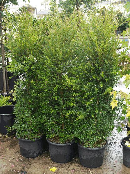 Acmena smithii goodbye neighbours tips on how to care for Fast growing fence covering plants