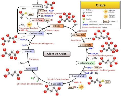 Ciclo  de Krebs. http://www.albertosanagustin.com/2014/12/ciclo-de-krebs.html