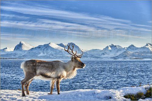 found Rudolph the rendeer in this phantastic landscape... :-)  Hab Rudolph das Rentier in dieser phantastischen Landschaft gesehen... :-)   - Rentier in verschneiter Landschaft am Meer