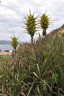 Puya chilensis - Wikipedia, la enciclopedia libre