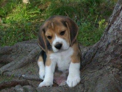 Beagle...how could you not want that cute thing:)