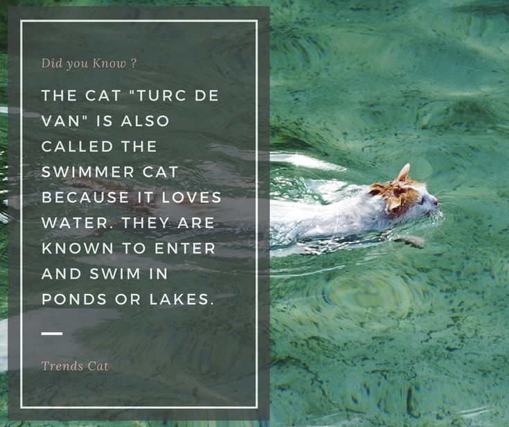Feline Fact: Turc de Van cat facts | cat facts text | cat facts interesting | cat facts prank | cat facts behavior | Cat Facts | Cat Facts | Cat Facts | Feline Fact Trends Cat | Cat Facts | Cat Facts |