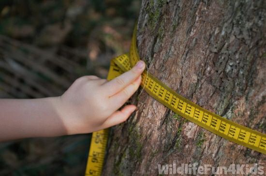 measuring-the-circumference-of-a-tree.jpg 550×364 pixels...math in nature