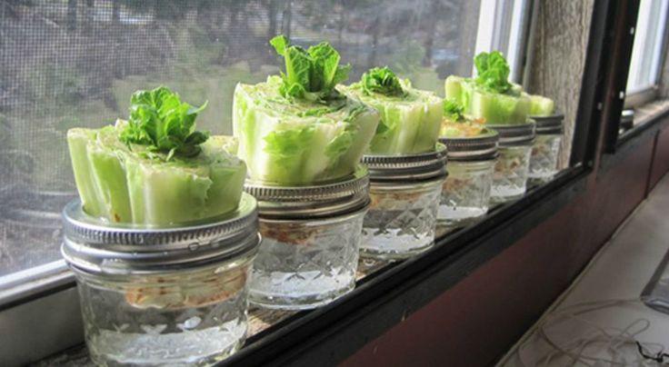 17 meilleures id es propos de cultiver de la laitue sur pinterest cultiver de la salade. Black Bedroom Furniture Sets. Home Design Ideas