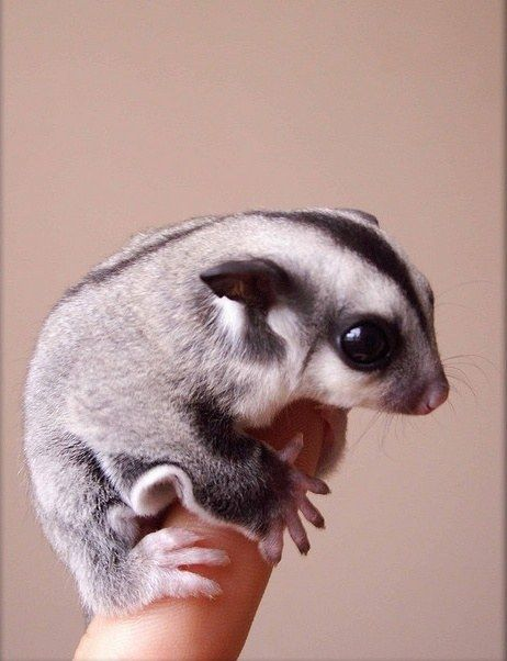 Its a sugar glider. From the flying squirrel family. Soft under belly:)