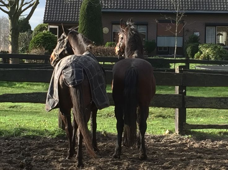 NoDoubt hanging out with his new buddy Litham #horses #NoDoubt #Haflo