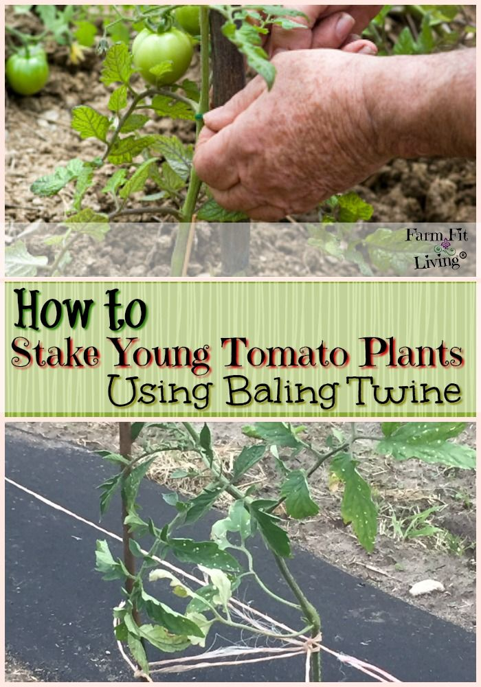 Stake Young Tomato Plants Using Baling Twine Tomato Plants