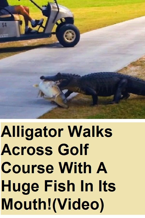 Alligator Walks Across Golf Course With A Huge Fish In Its Mouth Video Alligator Animal Crackers Florida Funny