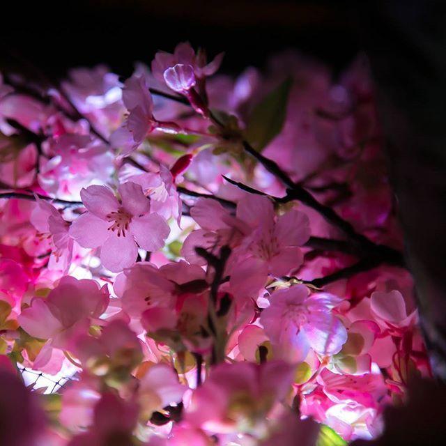 【buncha_z】さんのInstagramをピンしています。 《* * FLOWERS by NAKED 桜かわいい~🌸 *  #写真撮ってる人と繋がりたい  #写真好きな人と繋がりたい  #ファインダー越しの私の世界  #ファインダー越しのわたしの世界 #flowersbynaked #日本橋 #コレド室町#日本で一番早いお花見を日本橋で#日本で一番早いお花見#フラワーズバイネイキッド #フラワーズバイネイキッド2017#桜#サクラ#さくら#ピンク#ぴんく》