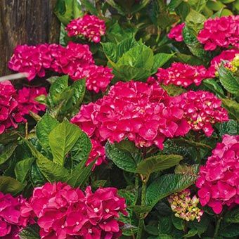 Glowing Embers Hydranges | Spring Hill Nursery | A compact hydrangea that produces vibrant red to dark pink summertime blooms. Growing 3-5' tall, it has lush foliage that makes it attractive throughout the season!