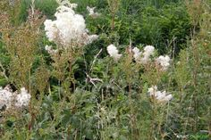 Wildkräuter-Erntekalender für den Monat August