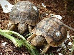 """Résultat de recherche d'images pour """"tortue graeca MAROKKENSIS"""""""