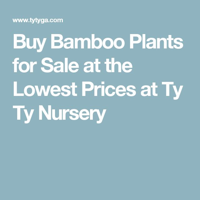 Buy Bamboo Plants for Sale at the Lowest Prices at Ty Ty Nursery