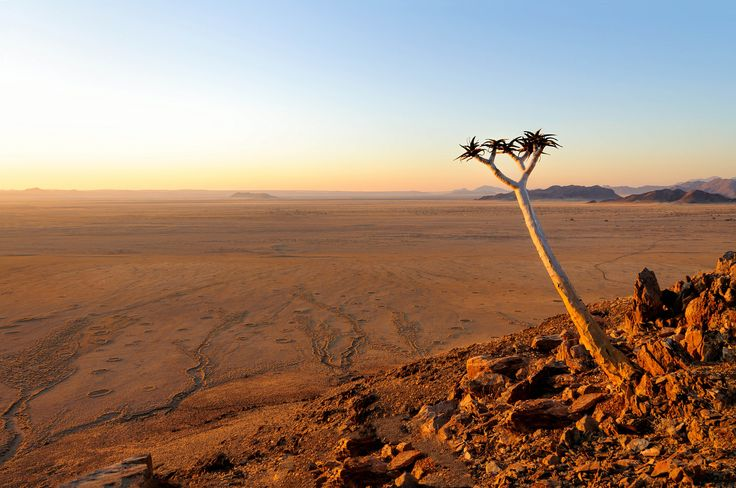 Quiver tree (Aloe Dichotoma) in the Namib desert landscape - Namibia