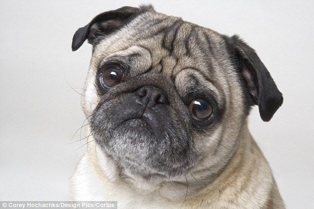 The Royal Veterinary College has said facelifts for bulldogs and pugs have surged (file picture shows a pug)