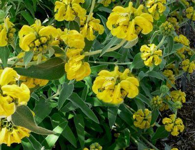 Les 15 meilleures images du tableau garden arbustes persistants sur pinterest arbuste - Arbustes fleurs bleues feuillage persistant ...