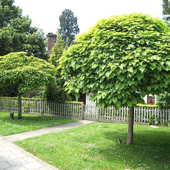 Catalpa Umbrella Tree Dwarf Ornamental Trees