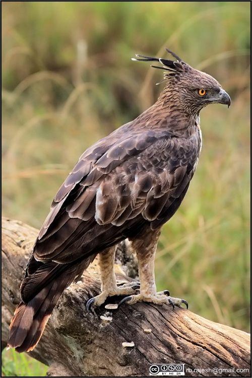Aigle huppé // Changeable Hawk Eagle