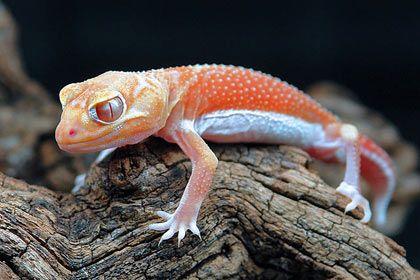 Nephrurus levis pilbarensis - albino phase #lizards #geckos