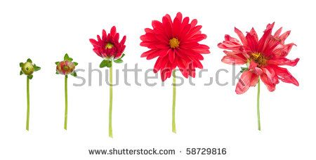 Flower Bud Stock Photos, Royalty-Free Images & Vectors - Shutterstock