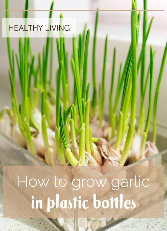 How To Grow Garlic In Plastic Bottles Growing Garlic Growing Garlic From Cloves Garlic Chives
