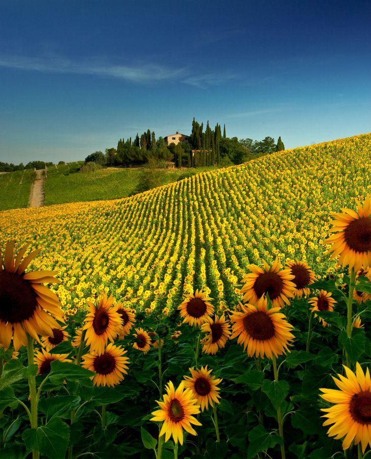 Campo de girassol cerca de San Gimignano, Toscana
