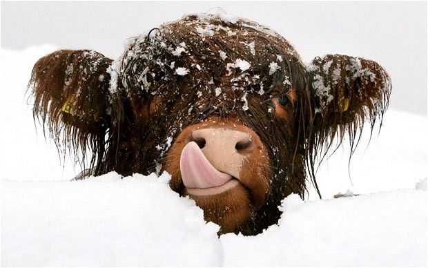 We spend a lot of time in St Andrews, Scotland for data analysis and writing.  We love Highland cows, but have never seen one lick snow off its face.