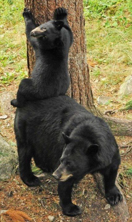 """Thanks Mom""  - American Black Bear  Photographer  - Dr Lynn Rogers, www.bear.org  Photo courtesy of Bear With Us Sanctuary and Rehabilitation Center For Bears"