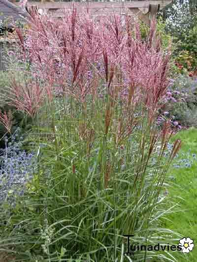 miscanthus sinensis 39 nippon 39 prachtriet 130 160cm zon. Black Bedroom Furniture Sets. Home Design Ideas