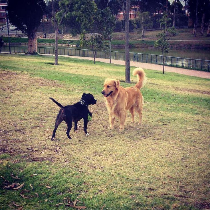 Me alegras el día  #Dog #Pitbull #park #bogota