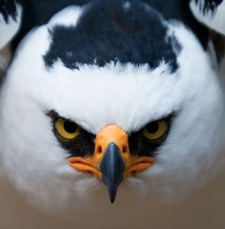 Go Ahead....Make My Day!! - The Black Faced Hawk, also known as Black and White Hawk Eagle