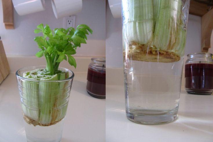 Salsão - É só cortar lá no talo, uns 5 cm, e deixar numa vasilha como um pires mais fundo com água, trocando sempre (ou use um copo cheio de água). Umedeça também a parte de cima da planta para não ressecar. Deixe num local ensolarado.