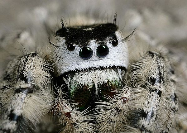 Jumping spider  my favorite!